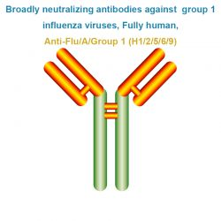 Broadly neutralizing antibodies against  group 1 influenza viruses, Fully human, Anti-Flu/A/Group 1 (H1/2/5/6/9)